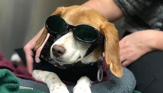 Dog wearing laser therapy goggles: Pet Pain Management in Melrose