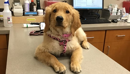 Dog on an exam table: Pet Surgery in Melrose