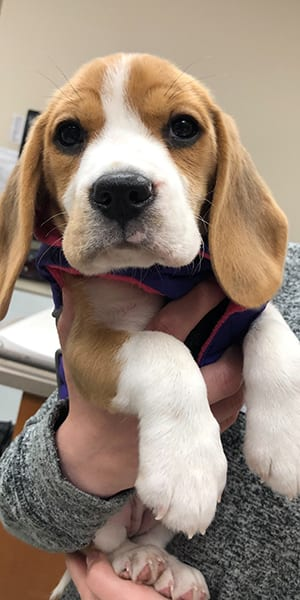 Beagle puppy: Pet Wellness Care in Melrose