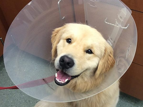 Happy dog wearing a surgery cone: Pet Surgery in Melrose