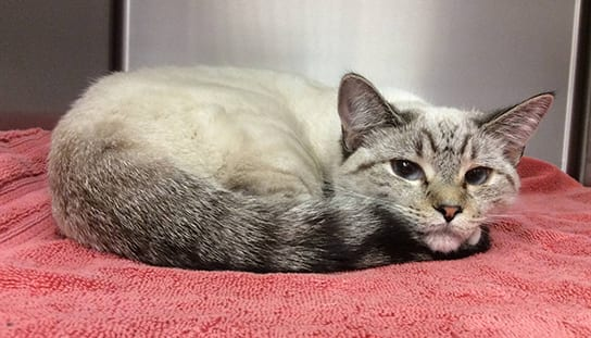 Cat curled up on a towel: Pet Surgery in Melrose
