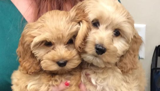 Vet holding two puppies: Pet Allergies in Melrose