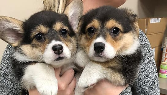 Veterinarian holding two puppies: Pet Videos in Melrose