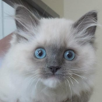 Kittens with blue eyes: Rebates in Melrose
