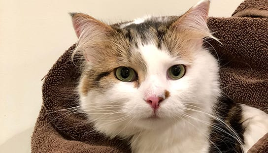 Cat in a blanket: Pet Insurance in Melrose